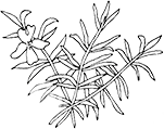 flotheme rosemary